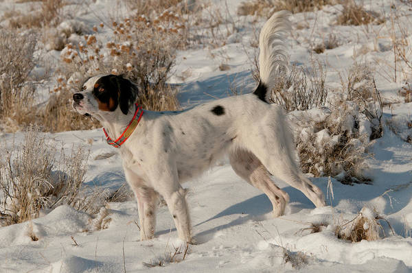 Wall Art - Photograph - English Setter On Point by William Mullins