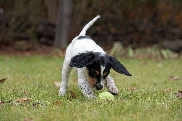 Wall Art - Photograph - English Setter Puppy, 8 Weeks by William Mullins