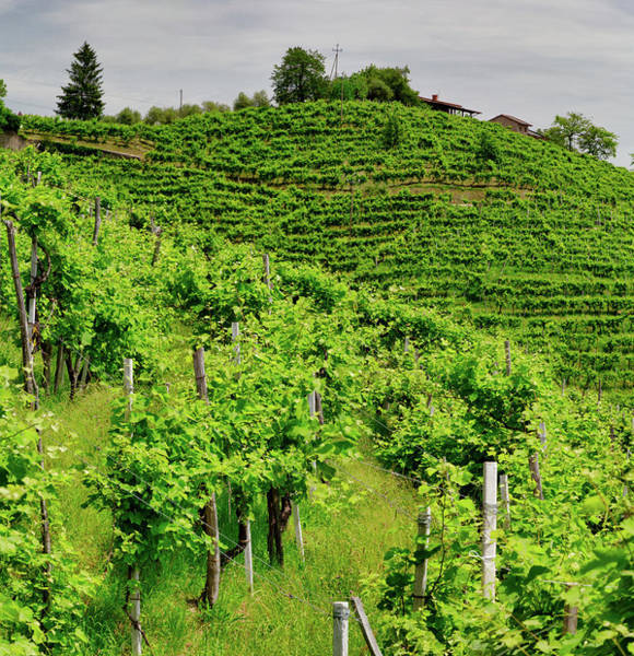 Wall Art - Photograph - Green Hills And Valleys With Vineyards Of Prosecco Wine Region by Pavel Rezac