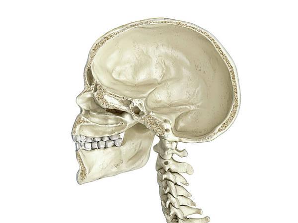 Wall Art - Photograph - Human Skull Mid Sagittal Cross-section by Leonello Calvetti