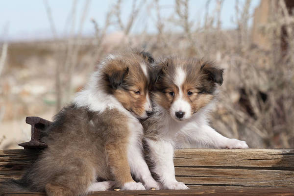 Wall Art - Photograph - Shetland Sheepdog Puppies by Zandria Muench Beraldo