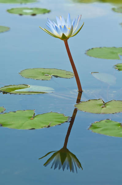 Wall Art - Photograph - Waterlily Flower by Michael Lustbader