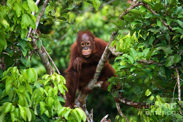 Zoology Wall Art - Photograph - A Baby Orangutan In The Wild by Gudkov Andrey