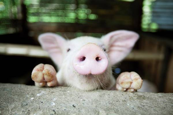 Philippines Photograph - A Baby Pig In Its Pen by Design Pics / Deddeda