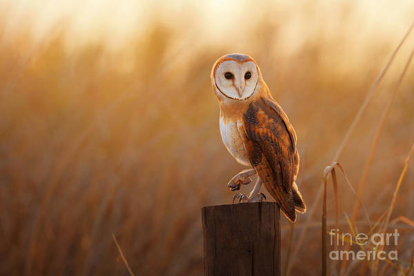 Alert Wall Art - Photograph - A Beautiful Barn Owl Perched On A Tree by Duangnapa b