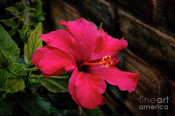 Wall Art - Photograph - A Beautiful Red Hibiscus by Robert Bales