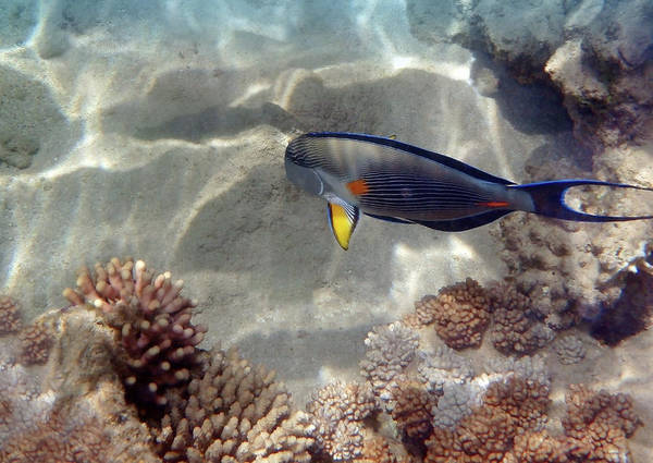 Photograph - A Beautiful Red Sea Sohal Surgeonfish by Johanna Hurmerinta