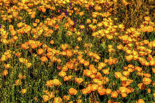 Photograph - A Bed Of Gold by Rick Furmanek