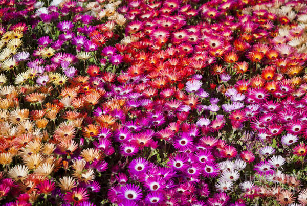 Organic Garden Wall Art - Photograph - A Bed Of Livingstone Daisies In by Jason Benz Bennee