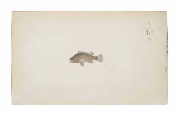 Wall Art - Painting - A Bedda Fish Company School, India, Early 19th Century by Celestial Images