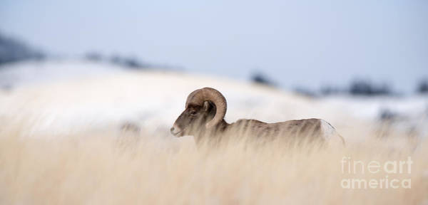 Wall Art - Photograph - A Big Horn Sheep Ram Walking From The by Lorraine Logan
