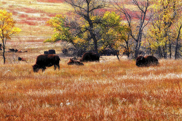 Photograph - A Bison Herd In Custer State Park South Dakota by Gerlinde Keating - Galleria GK Keating Associates Inc