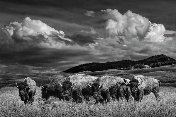 Photograph - A Black And White Photograph Of A Herd Of American Buffalo Bison Grazing In Yellowstone by Randall Nyhof