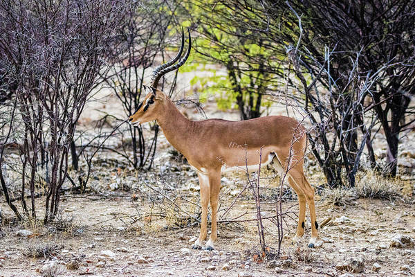 Photograph - A Black Faced Impala, Namibia by Lyl Dil Creations