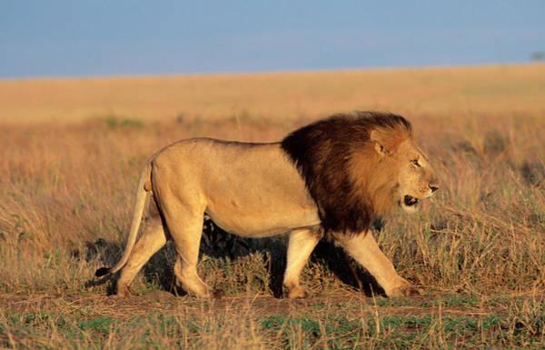 Safari Animal Photograph - A Black Maned Lion On The Move Across A by Martin Harvey