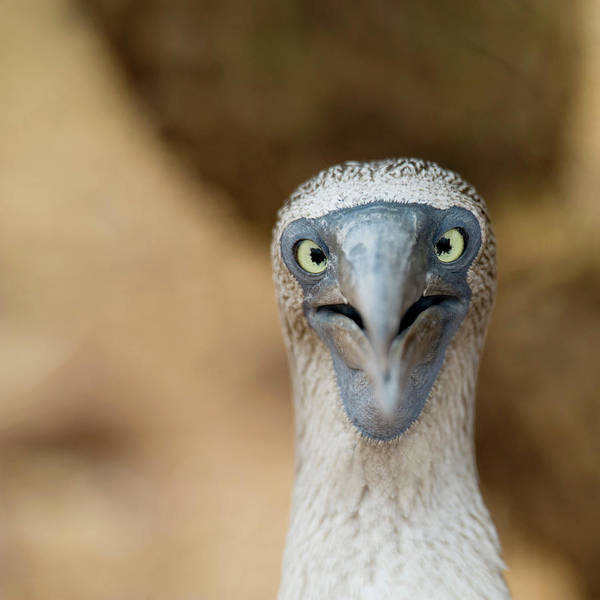 Blue Footed Booby Wall Art - Photograph - A Blue-footed Booby Staring by Keith Levit / Design Pics