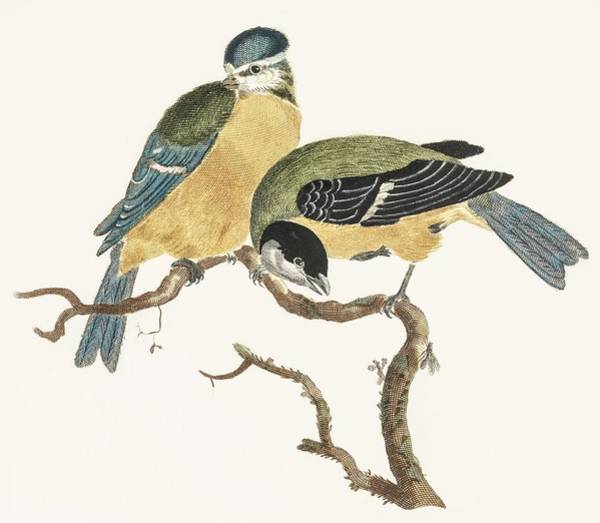 Wall Art - Painting - A Blue Tit And A Great Tit By Johan Teyler   1648 1709  by Celestial Images