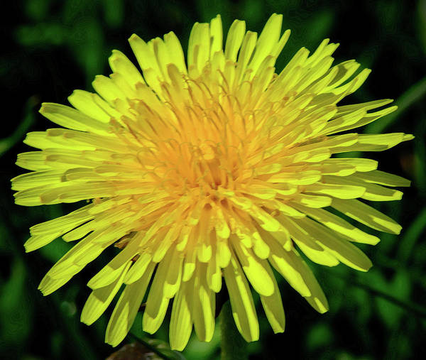 Photograph - A Blushing Dandelion by Tikvah's Hope