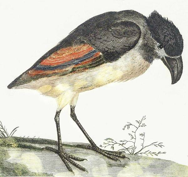 Wall Art - Painting - A Boat-billed Heron By Johan Teyler  1648  1709  by Celestial Images