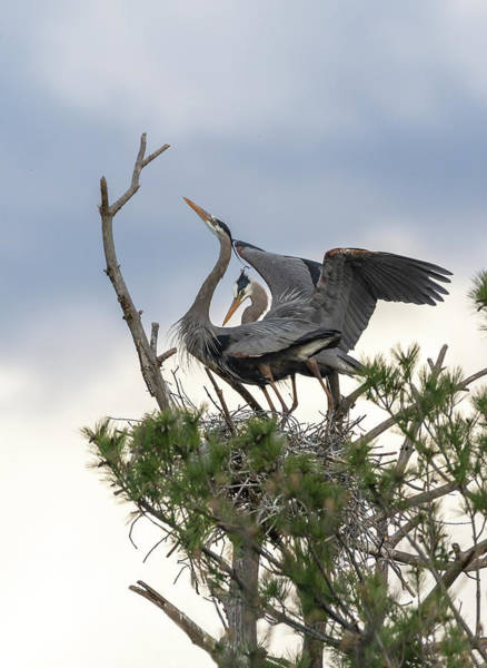 Photograph - A Bonded Pair Of Great Blue Herons 2019-1 by Thomas Young