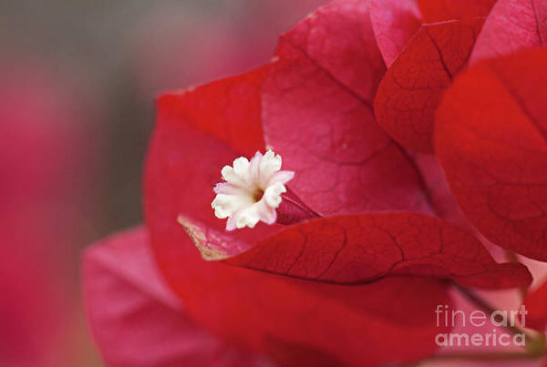 Wall Art - Photograph - A Bougainvillea Bloom by Robert Bales