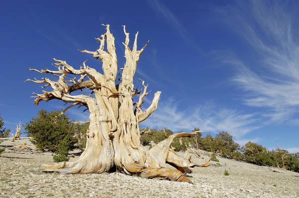 Inyo Mountains Photograph - A Bristlecone Pine Tree Pinus Longaeva by Martin Ruegner