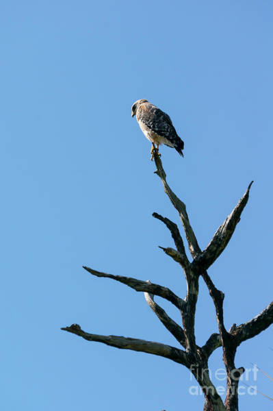 Photograph - A Broad-winged Hawk Peers Down From A Dead Tree At Audubon Corks by William Kuta
