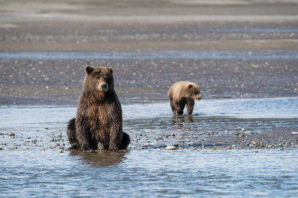 Wall Art - Photograph - A Brown Bear And Her Cub Watch For Fish by Brenda Tharp