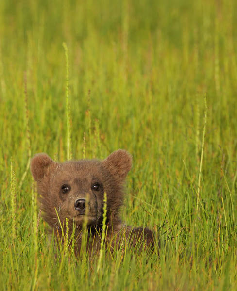 Born In The Usa Photograph - A Brown Bear Cub In The Long Grass In by Mint Images - Art Wolfe