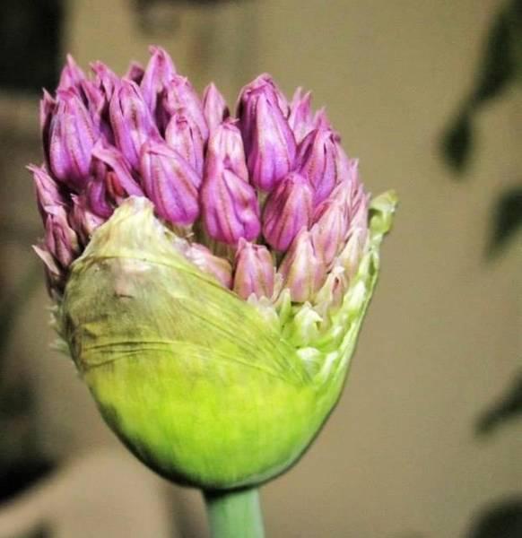 Photograph - A Bulbous Plant by Rosita Larsson