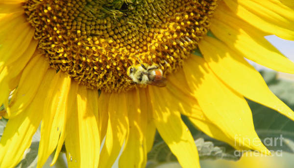 Wall Art - Photograph -  A Bumblebee And Sunflower Heaven by Jeff Swan