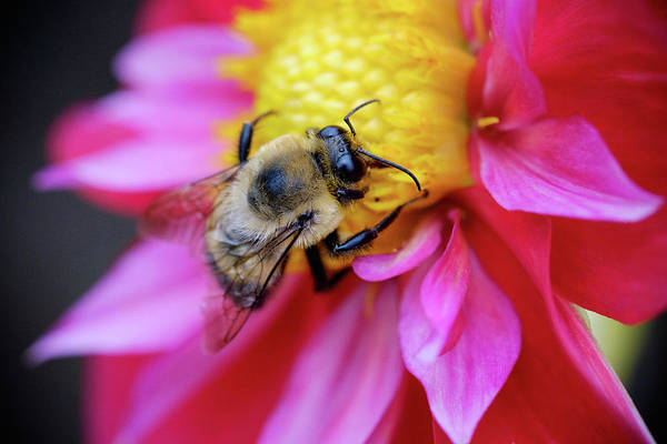 Photograph - A Bumblebee On A Flower by Nicole Young