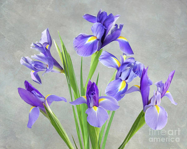 Purple Iris Photograph - A Bunch Of Iris by Laura D Young