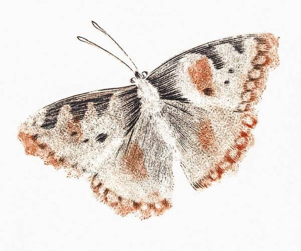 Wall Art - Painting - A Butterfly By Johan Teyler  1648-1709  by Johan Teyler