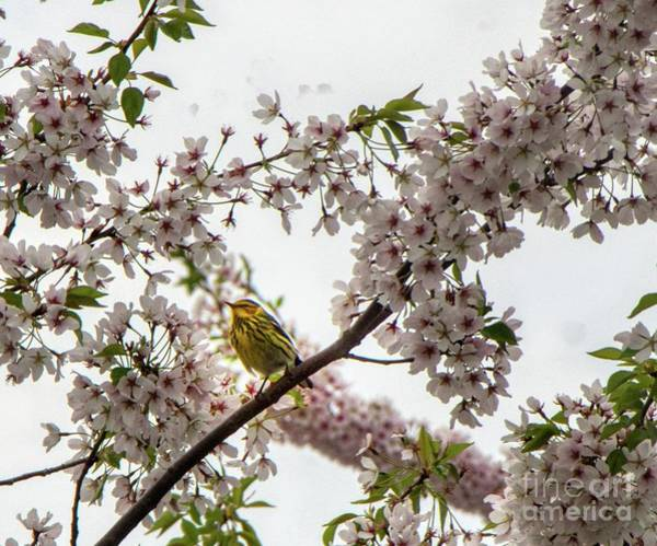 Photograph - A Canary In A Cherry Tree  by Jim Lepard