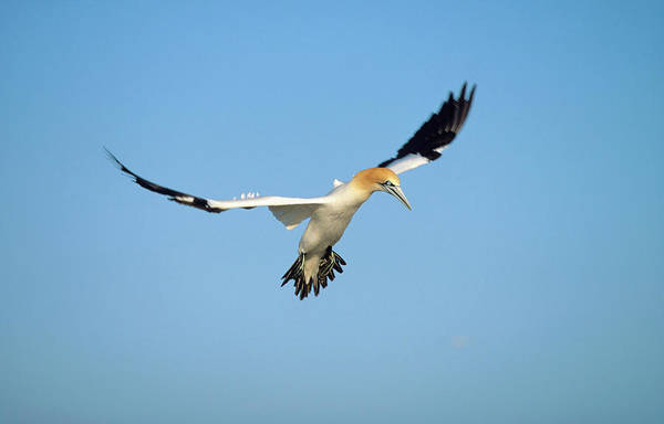 Safari Animal Photograph - A Cape Gannet In Flight by Martin Harvey