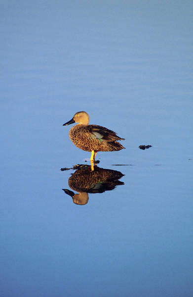 Wading Photograph - A Cape Shoveller Wading On A Lake by Gerald Hinde