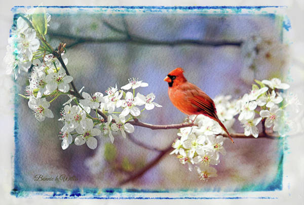 Digital Art - A Cardinal In A Pear Tree by Bonnie Willis