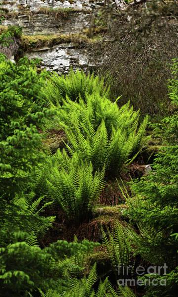 Photograph - A Cascade Of Ferns by Liz Alderdice
