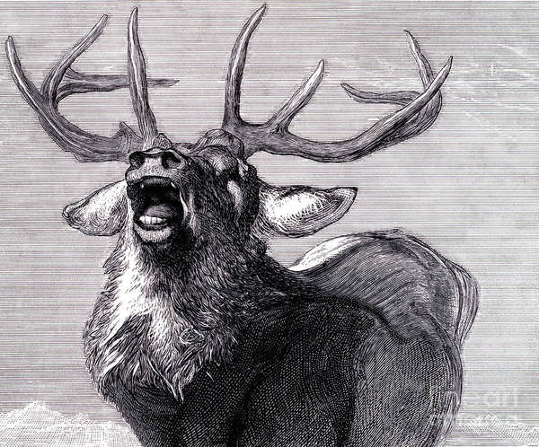 Black And White Nature Drawing - A Challenge, 1845  by Edwin Landseer