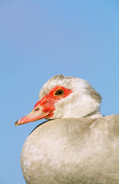 Muscovy Photograph - A Close-up Of A  Muscovy Duck In by Thomas Dressler