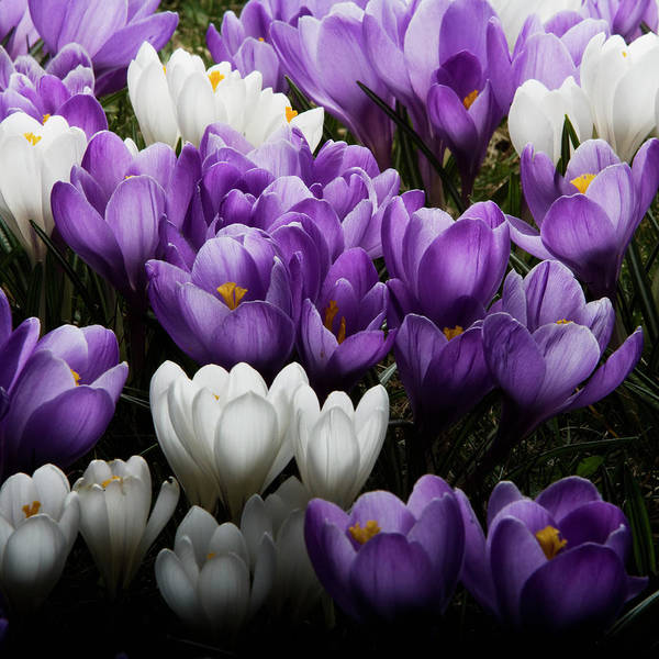 Wall Art - Photograph - A Close-up Of Crocuses Sweden by Roine Magnusson