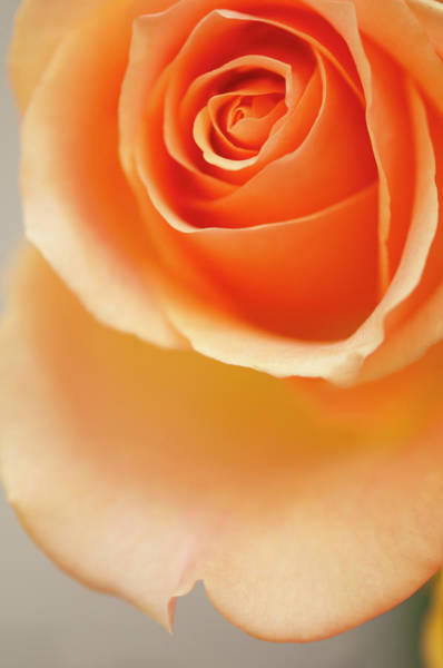Rockville Photograph - A Close-up Of Peach Rose Flower by Maria Mosolova