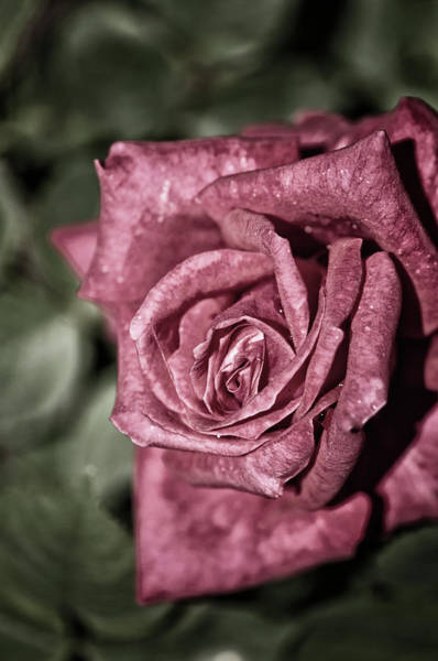 Rockville Photograph - A Close-up Of Single Rose Flower by Maria Mosolova