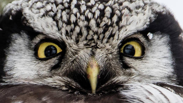 Photograph - A Closeup Of The Northern Hawk Owl by Torbjorn Swenelius