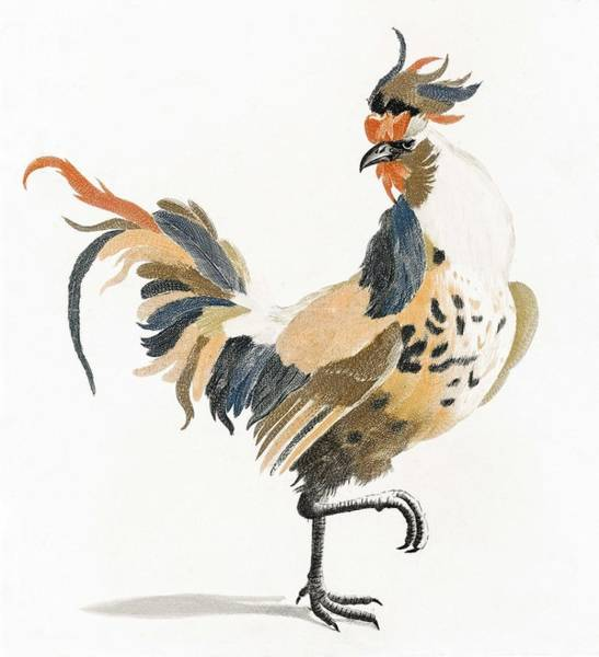 Wall Art - Painting - A Cock By Johan Teyler  1648-1709   by Celestial Images