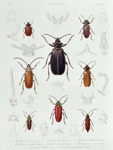 Wall Art - Drawing - A Collection Of Coleoptera Found In Chile, Illustration From Historia De Chile by Lebrun
