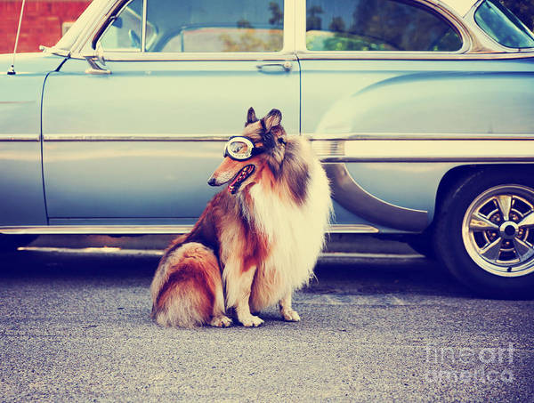 Alert Wall Art - Photograph - A Collie Posing For The Camera In Front by Annette Shaff