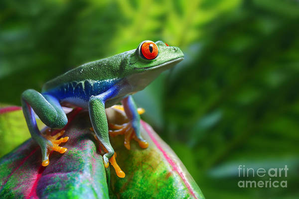 Rain Forest Wall Art - Photograph - A Colorful Red-eyed Tree Frog In Its by Brandon Alms