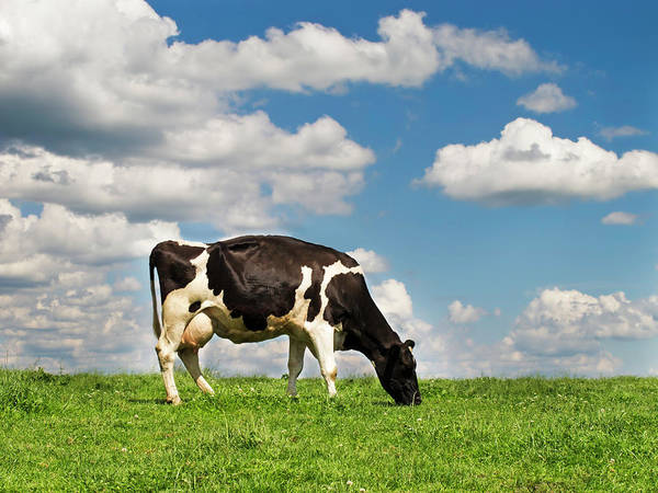 Wall Art - Photograph - A Cow Grazing On A Hill In A Field by Thinkdeep